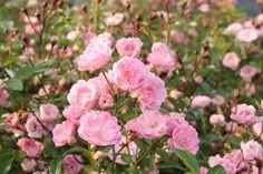 mine grose like crazy in almost full shade ...rose the fairy | Rose The Fairy - rosa Bodendeckerrose: kompakt, starkwüchsige ...