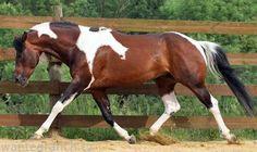 bay tobiano - Paint Horse stallion Im Ideal