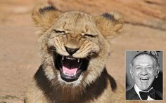 American photographer Randy Rimland captured a male lion cub seeming to smile for the camera at the Riverbanks Zoo in Columbia, South Carolina. There is a surprising similarity to the wide grin of Carry On actor Sid James.