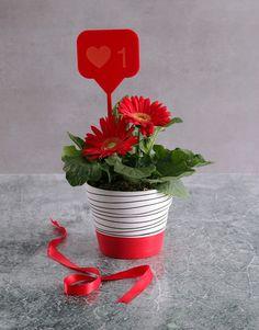 Mini Gerbera Plant I