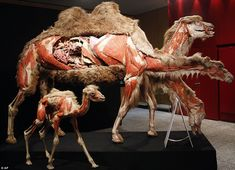 camel..main exhibit at body worlds 3