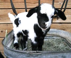 Baby goat! I want one.