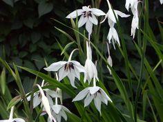 gladiolus callianthus - Google Search