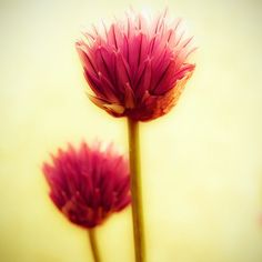 Pink Flowers - macro photography