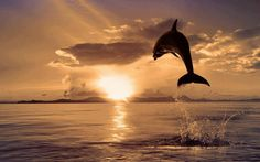 Dolphins Leap At Sunset Wallpaper Images Wallpaper Beautiful Sunset, Beautiful World, Animals Beautiful, Cute Animals, Beautiful Beautiful, Beautiful Beaches, Beautiful Creatures, Beautiful Images, Beautiful Things