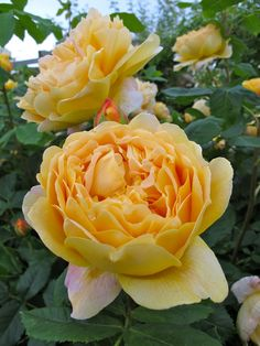 ~'Golden Celebration' English rose with large, scented flowers