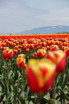 Skagit Tulip Festival, RoozenGaarde. | GSquared Photographics (more photos on post)