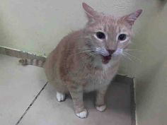 KILLED at ACC!!! :( TO BE DESTROYED 9/8/14 ** FRIENDLY, ALLOWS MOST HANDLING. MUST SEE VET FOR DENTAL DISEASE, & GINGIVAL MASS ** Brooklyn Center  My name is BRODIO. My Animal ID # is A1013039. I am a neutered male org tabby and white domestic sh mix. The shelter thinks I am about 9 YEARS old.  I came in the shelter as a OWNER SUR on 09/05/2014 from NY 11212, COST.