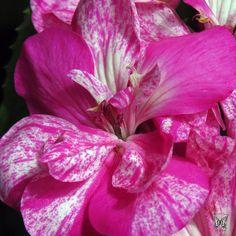 Geranium Blossom Macro