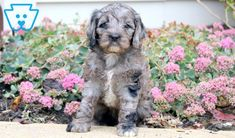 Glow | Cockapoo Puppy For Sale | Keystone Puppies