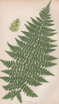1855 Ferns Botanical Print Vintage Lithograph Anne by Craftissimo