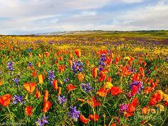 Mesmerizeing Antelope Valley Poppy Reserve in California