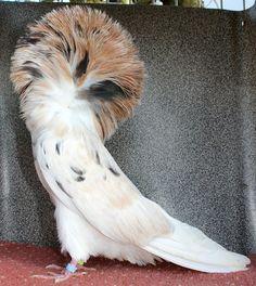 Jacobin pigeon 1.0 Almond 2017 Jacobin Pigeon, Fantail Pigeon, Almond, Birds, Iphone, Animals, Animales, Animaux, Almond Joy