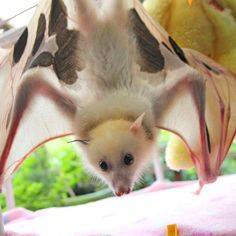 A rare white fruit bat with serious sunburn will stay in captivity after being rescued by volunteers in south-east Queensland.