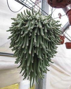 chamaecereus : web # #cactus #succulent #succulents #cacti #cacto #kaktus #кактус #多肉植物 #多肉 #サボテン #仙人掌 #선인장 #kaktüs #cactos #Cactaceae #nature #plant #plants #گیاه #ساکیولنت #کاکتوس #ساکولنت #succulove #cactuslover #cactusclub #cactusmagazine #cactuslove #cactuspremium #cactusgram . ⛰❄ ☘⚘