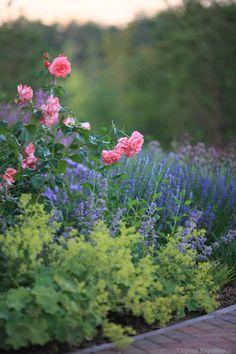 """Котовник Фассена «Six Hills Giant» Nepeta fassenii «Six Hills Giant». """"366 дней о любимых растениях"""". Koysman plants"""