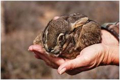This Easter the has once again come to lend a helping hand to its cousin the The Riverine Rabbit is one of South Africa's most endangered mammals and one of the worlds rarest mammals. Lindt Gold Bunny, Habitat Destruction, African Animals, Endangered Species, Beautiful Creatures, Mammals, Cute Animals, Wild Animals, Wildlife