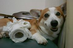 Oh hey, we're out of toilet paper! This is sooo my Corgi. She cant get enough shredding toilet paper all over the house. And no one but me remembers to keep the bathroom door closed. Uggh