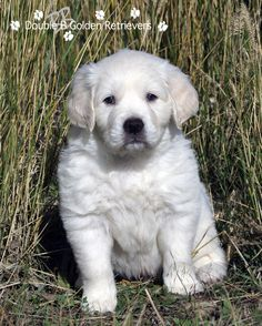 European Golden Retriever Puppy www.akcdoublebgoldens.com