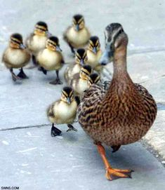 Ducklings being escorted to a nearby river.