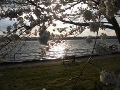 Cherry Blosssoms DC