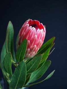 Imagem gratis no Pixabay - Protea, Vaso, Planta, Flores, Bloom Botanical Flowers, Flowers Nature, Exotic Flowers, Beautiful Flowers, Lilies Flowers, Tropical Flowers, Purple Flowers, Protea Art, Protea Flower