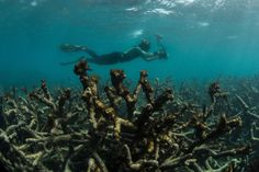 Un fotógrafo cerca de Lizard Island, Australia, la documentación de coral muerto en la Gran Barrera de Coral en de mayo de 2016. La Agencia de crédito Océano / XL Catlin Seaview Survey, a través de Associated Press- A Sea Change for Climate Coverage - The New York Times