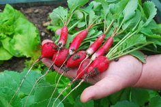 Žiadny skleník by nemal zívať prázdnotou, kým ho obsadia priesady plodovej zeleniny. Aby naplnil svoje jarné poslanie, musí sa zazelenať rýchlorastúcimi druhmi zelenín, ktoré milujú chladnú klímu. Vo včasnej jari sú všetky najchutnejšie a najšťavnatejšie. 1. Listový šalát Rastie podstatne rýchlejšie ako druhy, ktoré tvoria hlávky a možno ho zberať už v tom najútlejšiom štádiu