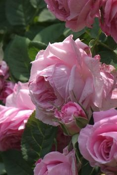 Alba Rose: Rosa 'Sophie de Baviére' (France, 1824)