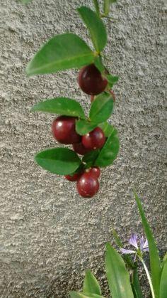 Limão cola Cherry, Fruit, Food, Necklaces, Essen, Meals, Prunus, Yemek, Eten