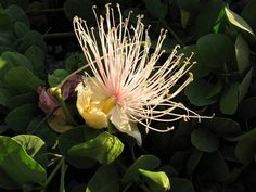 Maiapilo (Capparis sandwichiana), via Flickr.