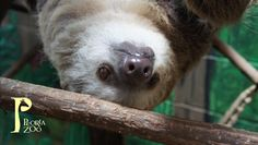Hoffman's Two-Toed Sloth just hanging around at Peoria Zoo!