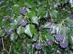 Le piante rampicanti che si possono utilizzare per schermare zone del giardino o del terrazzo, adornare muri, grigliati e portici sono molte, alcune sempreverdi ed altre a foglia caduca. Alcune di