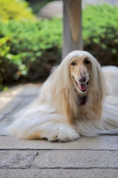 Lovely Eyes, Beautiful, Goofy Dog, Afghan Hound, Head Shots, Afghans, Animals And Pets, Awesome, Amazing