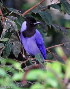 Violaceous Jay Cyanocorax violaceus violaceus Lumbaqui, Sucumbíos province, Ecuador. A common jay of low elevations east of the Andes.