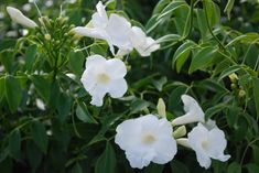 Pandorea Lady Di™ Pandorea jasminoides white form Just as lovely as its namesake, Lady Di™ is one of those plants that deserves a place in every garden.  There are very few regions in which it cannot grow (probably only those with permafrost). Lush bright green foliage provides a year-round screen for fence, pergola, wall, or...