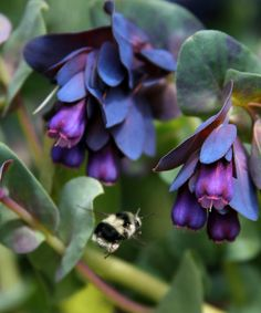Cerinthe major Purpurascens - Photo Credit: Annies Annuals & Perennials