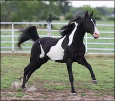 Tennessee Walking Horse - Walkers West - At stud, Majestic River. Love the Markings!