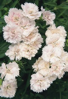 "~Dianthus 'Dynasty White Blush'. Dianthus barbatus. 12-18"" tall. Blooms May-June."