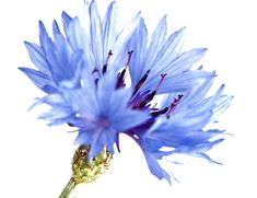 Cornflowers - Uses in Natural Beauty and Skincare