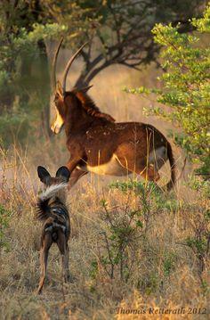 "Africa | ""Wild challenge""  African wild dog vs Sable.  Kwando Lagoon, Botswana | ©Thomas Retterath"