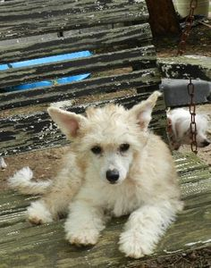 Photo Gallery: Fletcher ♥ Chinese Crested Powder Puff, Husky, Photo Galleries, Corgi, Gallery, Animals, Corgis, Animales, Roof Rack