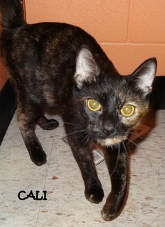 ADOPTED! AVAILABLE NOW! OWNER SURRENDER Tag# 5088 Name is Cali  Torti  Female  Very sweet, loves attention!  Located at 2396 W Genesee Street, Lapeer, Mi. For more information, please call 810-667-0236   https://www.facebook.com/267166810020812/photos/a.745124685558353.1073742094.267166810020812/745124848891670/?type=3&theater