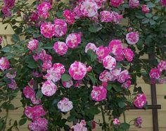 Berries 'n Cream rose bush