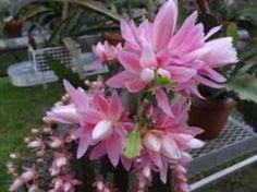 epiphylum roz-lila