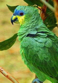 As cores da bandeira brasileira;  my grandmother had a Parrot like this