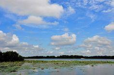 Waterlillies Columbus, MS Lock and Dam
