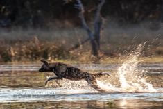 Every opportunity spent with wild dogs is a privilege. The morning this was photographed was challenging and rewarding. The challenge was that the high speed hunt through water was taking place before sunrise. so- high action with little light. Before Sunrise, Wild Dogs, Hunting Dogs, Colour Images, Places To See, Fine Art Prints, Wildlife, Canvas Art, African
