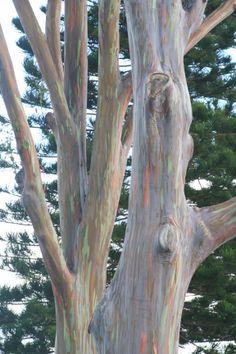 Rainbow Tree in Ohau' Hawaii - They are brilliant.