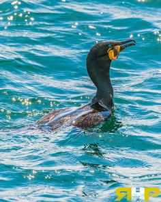 Cormorant Catch   - All of my photos/designs look MUCH better when viewed Large on my flickr site. Please check out my photo-stream at - http://www.flickr.com/photos/sizzler68/ - © Rodney Hickey Photography 2014